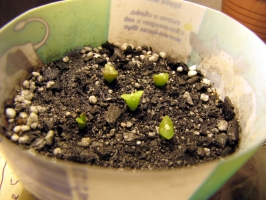 Семеначета на 1 седмица