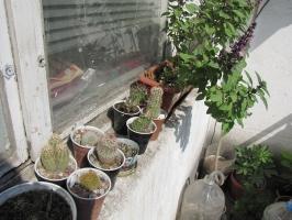 кактуси 2